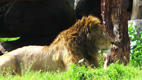 TheLion in natura verde in zoo archivi video