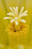 Thelocactus setispinus, Hedgehog cactus Stock Photography