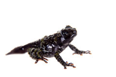Theloderma bicolor, rare spieces of frog on white. Theloderma bicolor, rare spieces of frog  on white background Royalty Free Stock Photos