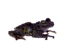 Theloderma bicolor, rare spieces of frog on white Royalty Free Stock Image