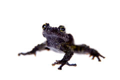Theloderma bicolor, rare spieces of frog on white Royalty Free Stock Images