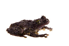 Theloderma bicolor, rare spieces of frog on white. Theloderma bicolor, rare spieces of frog isolated on white background Royalty Free Stock Images