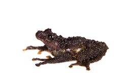 Theloderma bicolor, rare spieces of frog on white Royalty Free Stock Photography