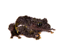 Theloderma bicolor, rare spieces of frog on white. Theloderma bicolor, rare spieces of frog isolated on white background Stock Photo