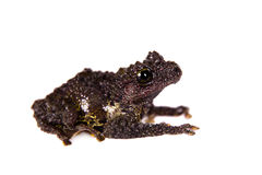 Theloderma bicolor, rare spieces of frog on white Stock Images