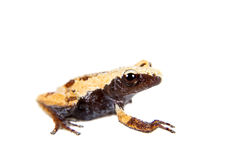 Theloderma chyangsinense,生苔青蛙罕见的spieces在白色的 免版税库存照片