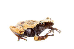 Theloderma chyangsinense, rare spieces of mossy frog on white Royalty Free Stock Photo