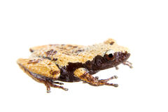 Theloderma chyangsinense, rare spieces of mossy frog on white Royalty Free Stock Images