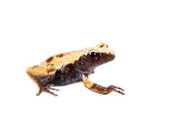 Theloderma-chyangsinense, seltene spieces des moosigen Frosches auf Weiß Lizenzfreie Stockfotos