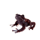 Theloderma gordoni, rare spieces of frog on white Royalty Free Stock Images