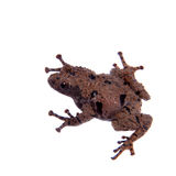 Theloderma rhododiscum on white. Star mossy frog, Theloderma stellatum, rare spieces of frog, isolated on white background Stock Image