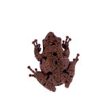 Theloderma rhododiscum on white. Star mossy frog, Theloderma stellatum, rare spieces of frog, isolated on white background Royalty Free Stock Image