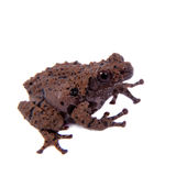 Theloderma rhododiscum on white. Star mossy frog, Theloderma stellatum, rare spieces of frog, isolated on white background Royalty Free Stock Photos
