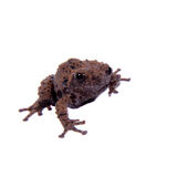 Theloderma rhododiscum on white. Star mossy frog, Theloderma stellatum, rare spieces of frog, isolated on white background Stock Photography