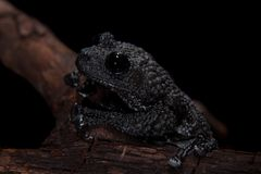 Theloderma ryabovi, rare spieces of frog on black. Theloderma ryabovi, rare spieces of frog, black frog on black background Stock Photography