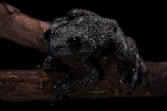 Theloderma ryabovi, rare spieces of frog on black. Theloderma ryabovi, rare spieces of frog, black frog on black background Royalty Free Stock Photography