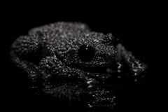 Theloderma ryabovi, rare spieces of frog on black. Theloderma ryabovi, rare spieces of frog, black frog on black background Royalty Free Stock Images