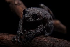 Theloderma ryabovi, rare spieces of frog on black. Theloderma ryabovi, rare spieces of frog, black frog on black background Royalty Free Stock Image