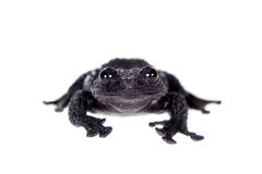 Theloderma ryabovi, rare spieces of frog on white Royalty Free Stock Photo