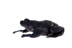 Theloderma ryabovi, rare spieces of frog on white Stock Photography