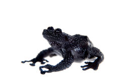 Theloderma ryabovi, rare spieces of frog on white Stock Image