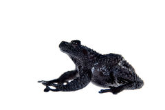 Theloderma ryabovi, rare spieces of frog on white. Theloderma ryabovi, rare spieces of frog, black coloured isolated on white Royalty Free Stock Image