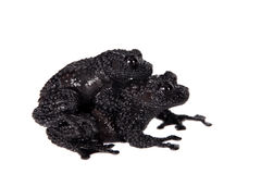 Theloderma ryabovi, rare spieces of frog on white. Theloderma ryabovi, rare spieces of frog, black coloured isolated on white Stock Images