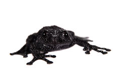 Theloderma ryabovi, rare spieces of frog on white Royalty Free Stock Images