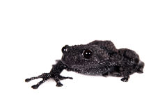 Theloderma ryabovi, rare spieces of frog on white Stock Photos