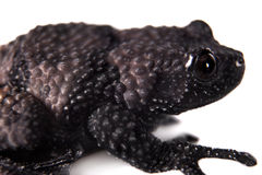 Theloderma ryabovi, rare spieces of frog on white Royalty Free Stock Photos