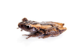 Theloderma trongsinense, rare spieces of frog on white Stock Photo