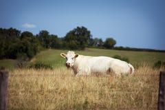 Thema ist Landwirtschaft und die Scheidung des Viehs Eine weiße Kuh liegt, stillstehend auf dem Feld im Hintergrund der Hügel auß Lizenzfreie Stockfotos
