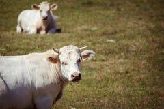 Thema ist Landwirtschaft und die Scheidung des Viehs Mehrere, eine Herde der weißen Kuh auf dem Feld in der Landschaft im Dorf in Stockfotos