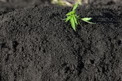 Thematic photo to legalize a plant hemp. Low THC technical cultivar with no drug value. Cannabis seedling, cultivated by hemp. Farmers to produce different royalty free stock image
