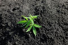 Thematic photo to legalize a plant hemp. Low THC technical cultivar with no drug value. Cannabis seedling, cultivated by hemp. Farmers to produce different stock photos