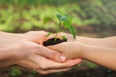 Adult and child are holding in hands seedling stock photos