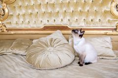 The theme of luxury and wealth. Young cat without a tail purebred bobtail Mecogon is on the big bed headboard near the Renaissance royalty free stock photography