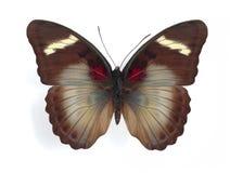Themis de Euphaedra (fêmea) Imagem de Stock Royalty Free