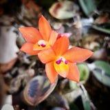 Theo Orchid imagens de stock