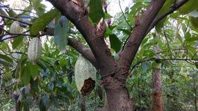 Theobroma cacao. Branching habbit.. jourketting stock photography