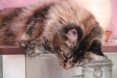Theodora, die Katze Stockbild
