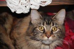Theodora, die Katze Stockfotografie