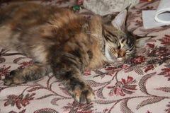 Theodora, il gatto Fotografia Stock