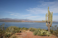 Theodore Roosevelt Lake and saguaro. An old and tall saguaro cactus looks over the blue water, but desert shores, of Theodore Roosevelt Lake, a reservoir in Stock Photo