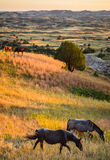 Theodore Roosevelt National Park,. Theodore Roosevelt National Park Mustangs royalty free stock photography