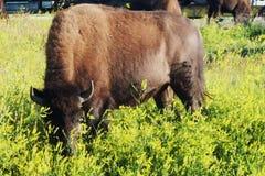 Theodore Roosevelt parka narodowego bizon Zdjęcia Royalty Free