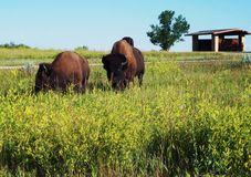 Theodore Roosevelt parka narodowego bizon Obrazy Royalty Free