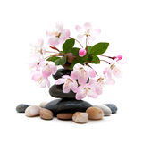 Zen / spa stones with flowers. Therapeutic zen / spa stones with plum blossom isolated Royalty Free Stock Image