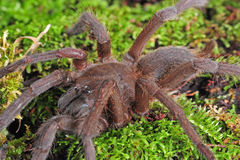 Tarantula. A Theraphosa Blondi tarantula macro shot royalty free stock photography