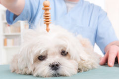 Therapist or vet using pendulum. Alternative medicine therapist or vet using pendulum to check dog's health Royalty Free Stock Photography